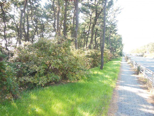134号線沿いに続く砂防林の緑地