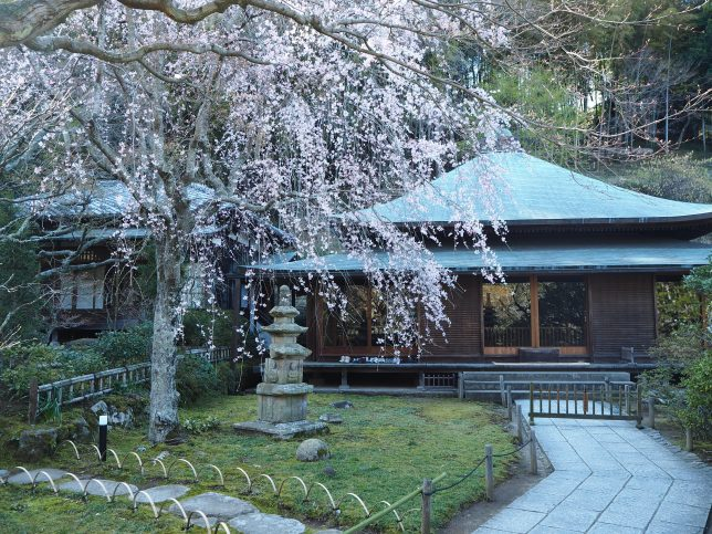 東慶寺本堂前のしだれ桜