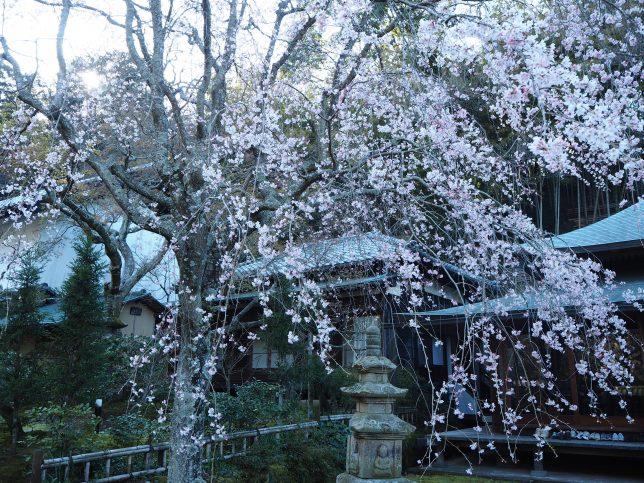 東慶寺本堂前の枝垂れ桜