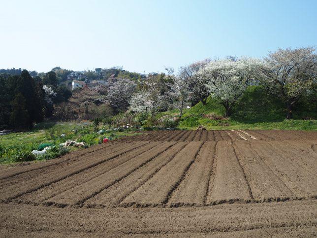 バス停付近の畑と桜
