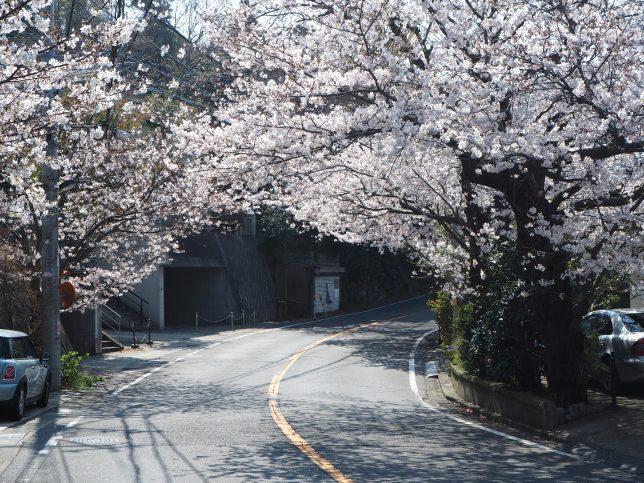 鎌倉山の桜のトンネル