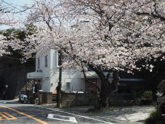 鎌倉山駐在所横の桜
