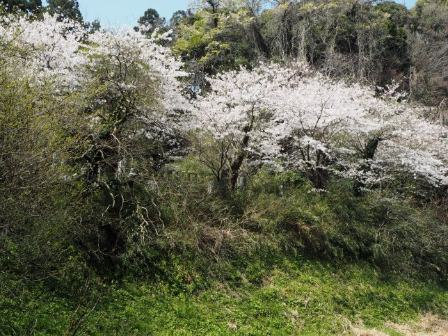 成就院墓地の桜