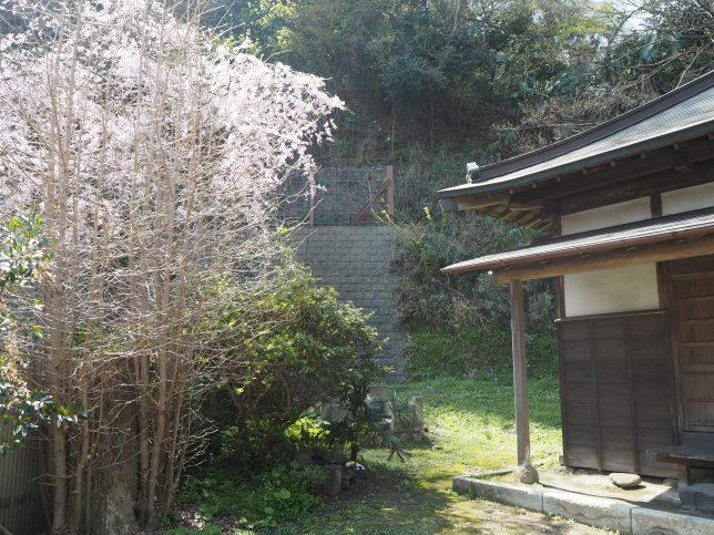 西ヶ谷の月影地蔵の桜