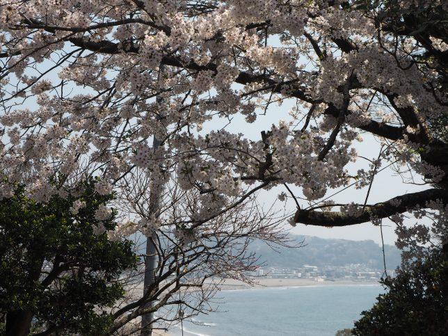 成就院の桜と鎌倉の海