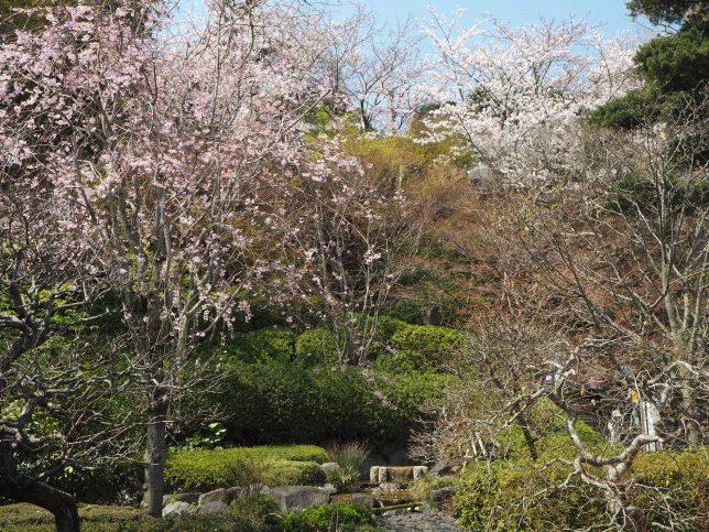 長谷寺の庭園の桜