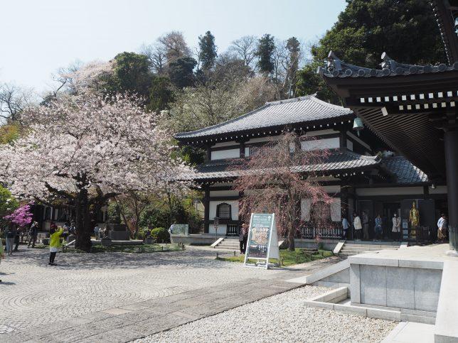 長谷寺の境内の桜