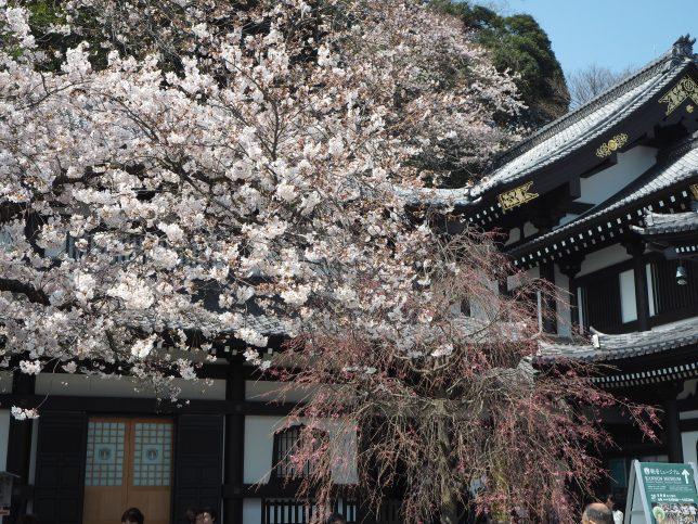 長谷寺観音堂脇の桜