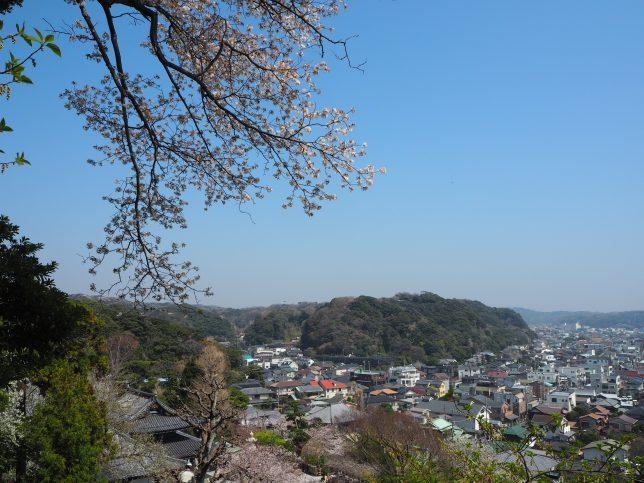 長谷寺の眺望散策路から見る桜と街並み
