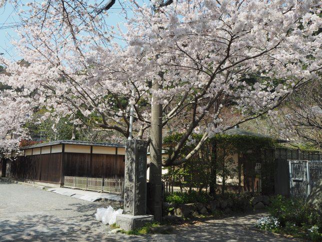 光則寺参道入口の桜