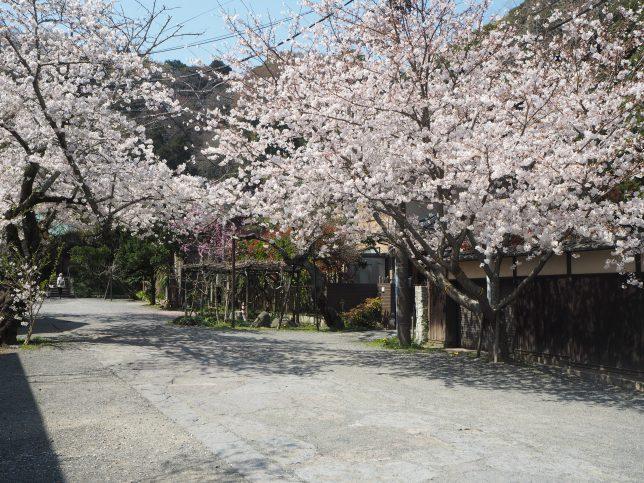 光則寺の参道の桜