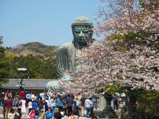 高徳院の大仏と桜