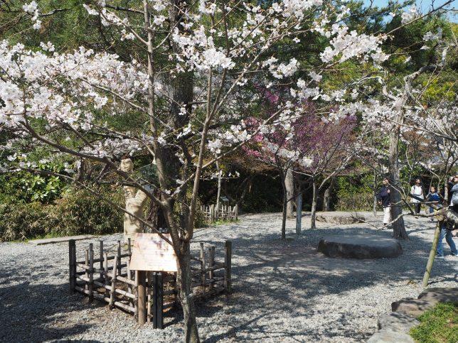 高徳院の庭園の桜