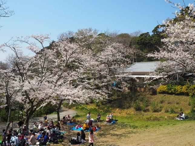 葛原岡神社前広場の桜