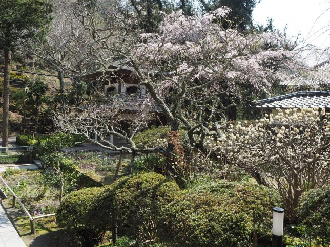 浄智寺境内の桜