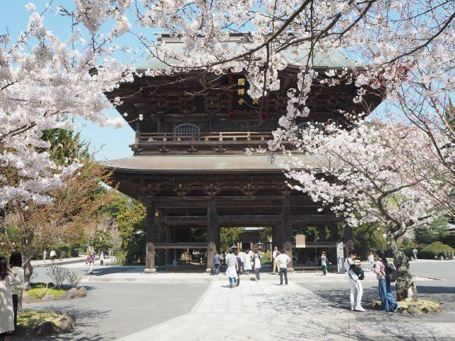 建長寺の山門と桜
