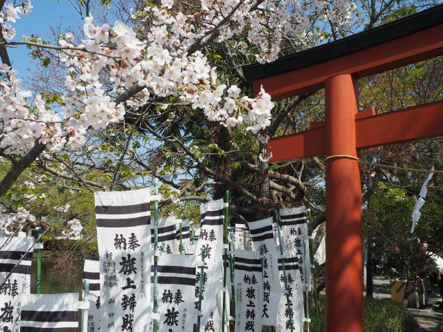 鶴岡八幡宮・旗上弁財天社の桜