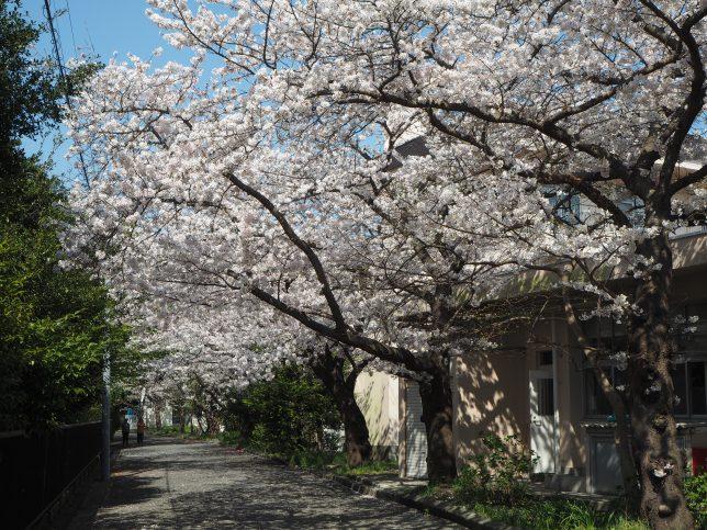 雪ノ下地区の桜並木