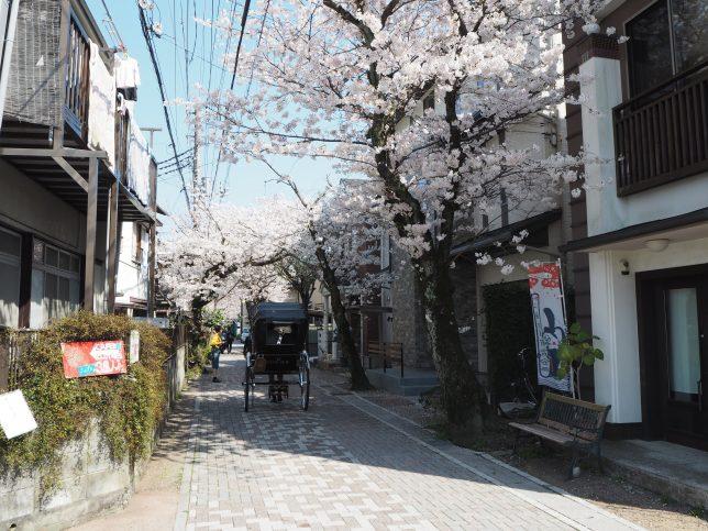 桜並木の下を往く人力車