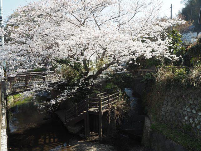 報国寺前の滑川と桜