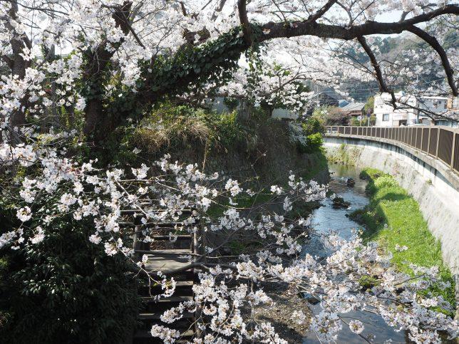 桜越しに見る滑川