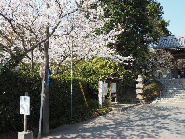 浄妙寺前の桜