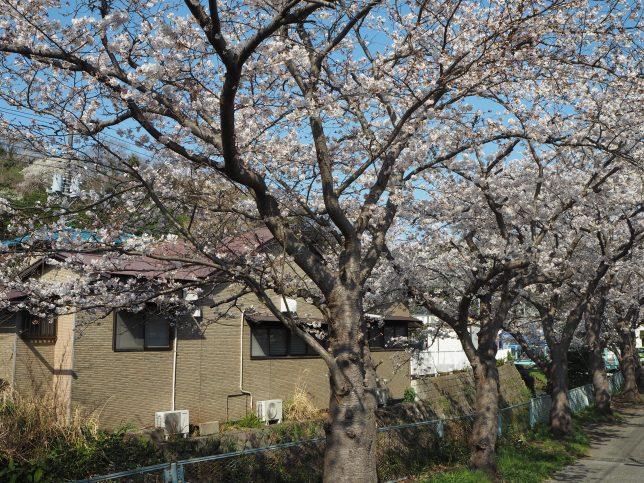明石橋付近の桜