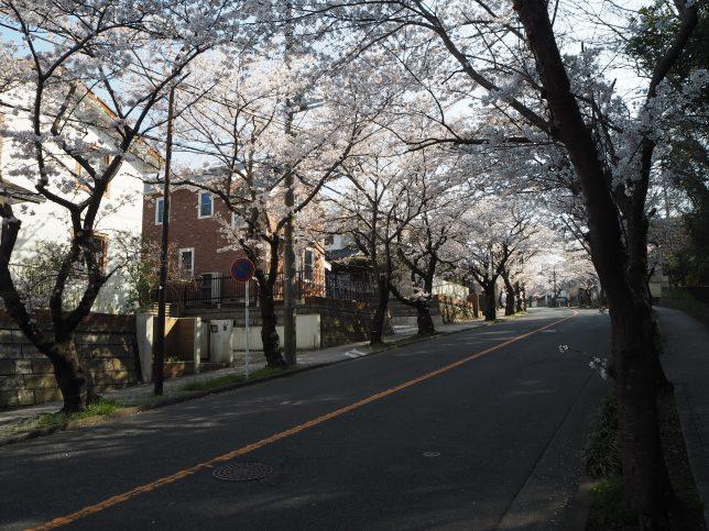 ハイランドの桜並木1