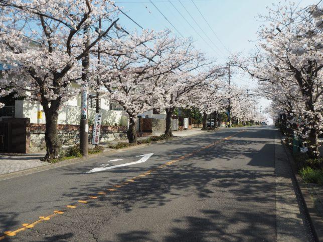 ハイランドの桜並木2