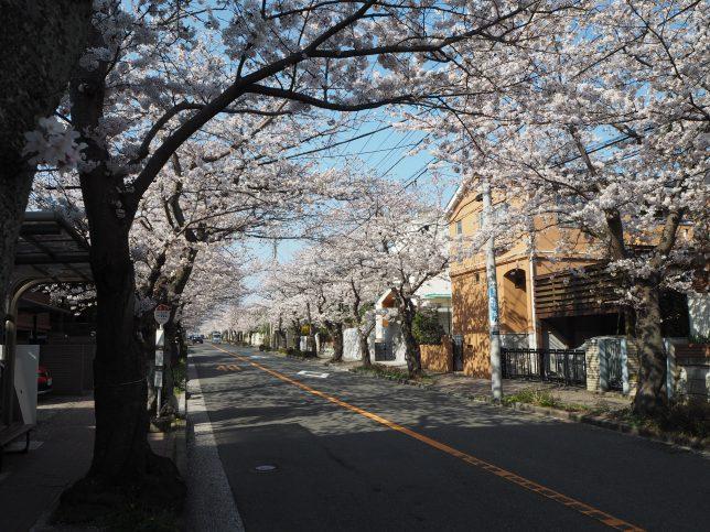 ハイランドの桜並木3