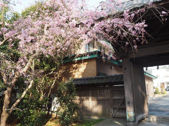 長勝寺境内入口の桜