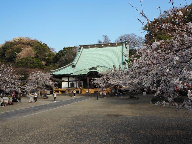 光明寺の境内と桜