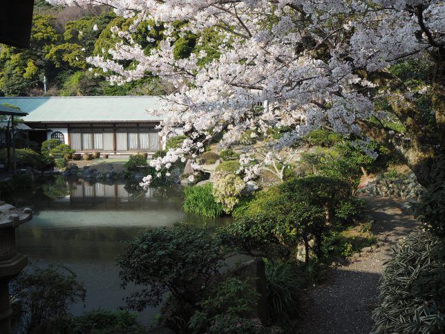 光明寺庭園の池と桜