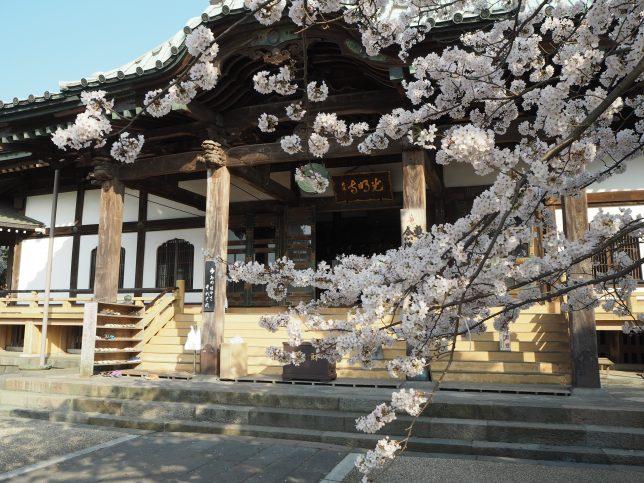 光明寺の本堂と桜