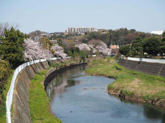 引地川沿いの桜その2