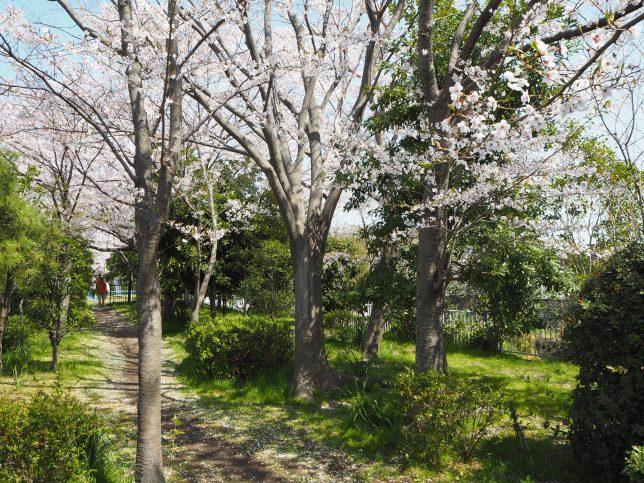 引地川沿いの桜その3