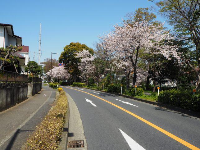 引地川沿いの桜その4