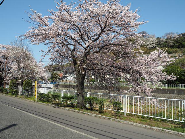 引地川沿いの桜その5