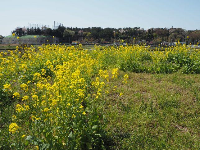 大庭農地の菜の花