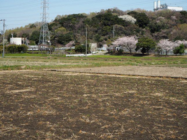田植えの準備が進む田んぼと桜