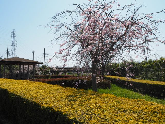 引地川沿いの枝垂れ桜