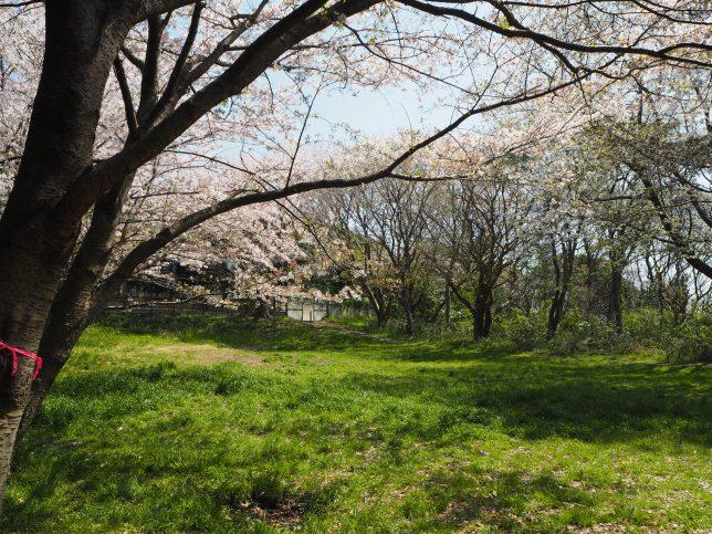 ふるさとの森の中にある桜