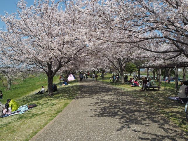 引地川親水公園の桜並木