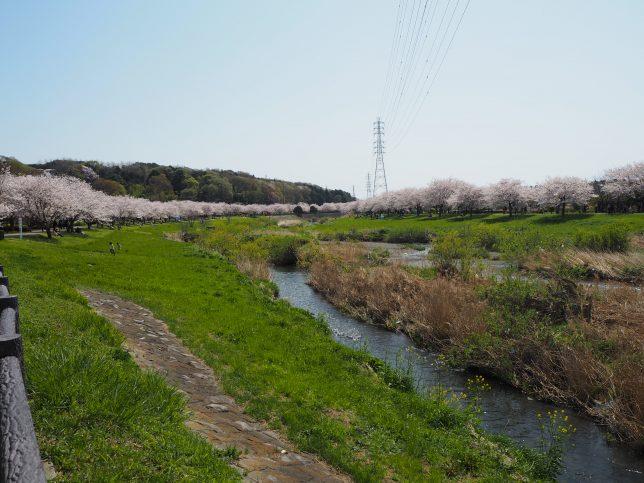 引地川両岸の桜並木