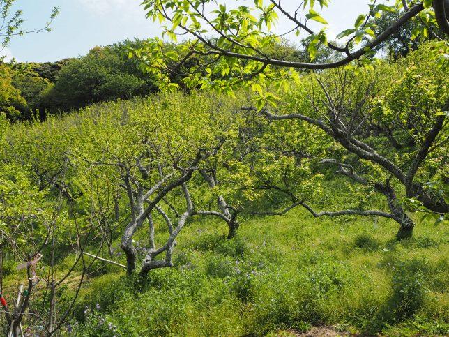 十二所果樹園では梅と栗の林が有名