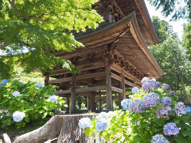 円覚寺の山門とあじさい
