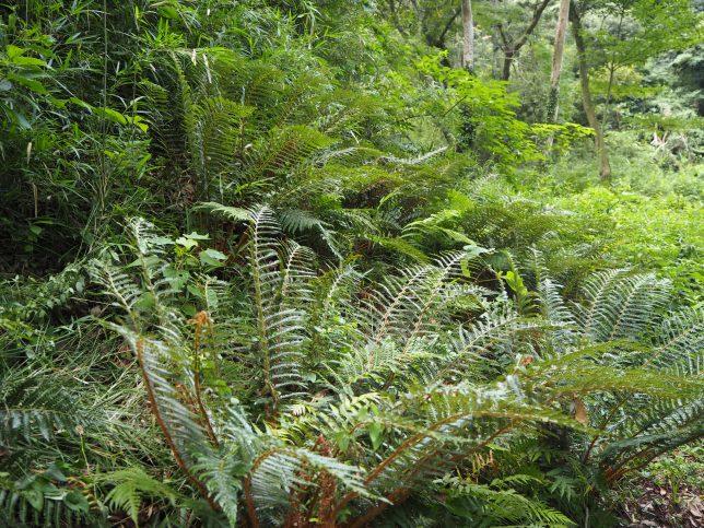 多くのシダ植物が自生する