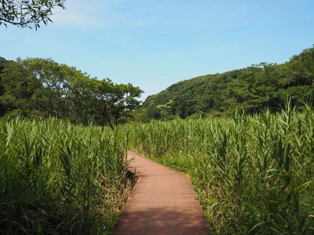 背の高いヨシの湿地を進む