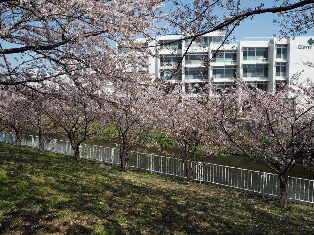 引地川沿いの桜その1