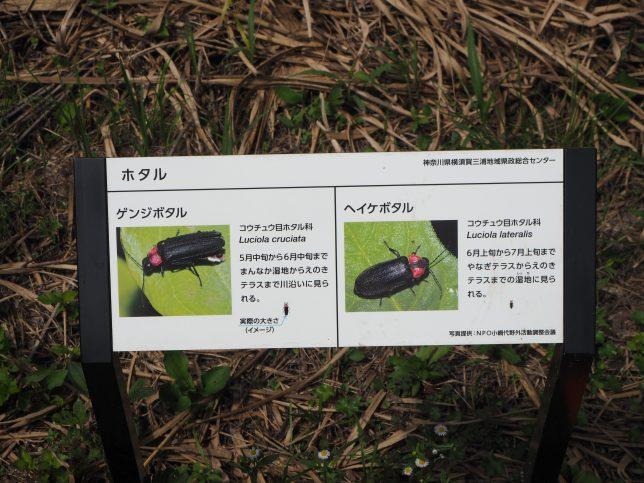 湿地にはホタルも生息
